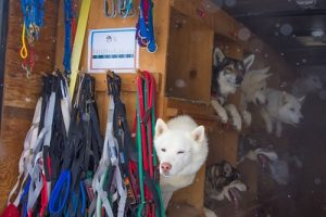 Dog sled tours