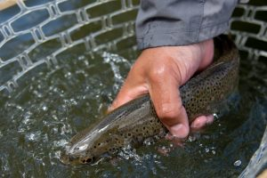 Our rivers have plenty of healthy fish and we practice catch and release so they grow big